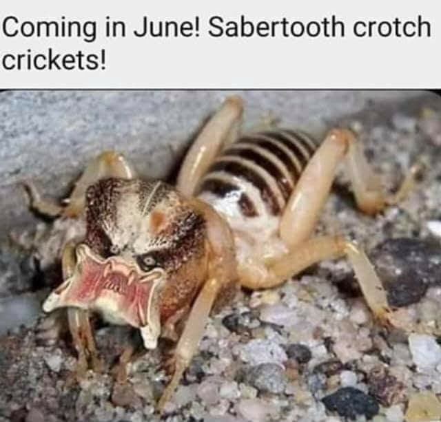 Saber Tooth Crotch Crickets photo 10